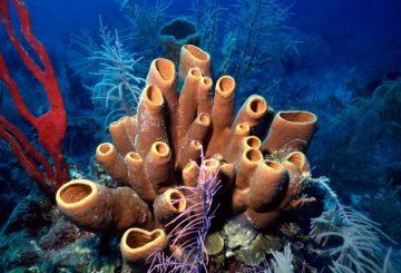 coral reef, coral reef Belize, sponge coral reef