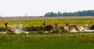 Sika, Sika deer, deer, deer running, deer meadow