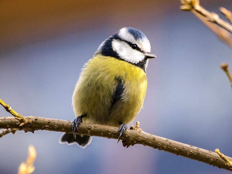 sikorka modraszka jak zrobić karmnik dla ptaków