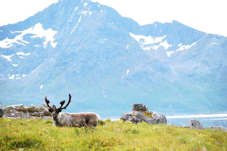 Reindeer, Norway, Rekvika, Troms, animals, mountain, landscape, nature