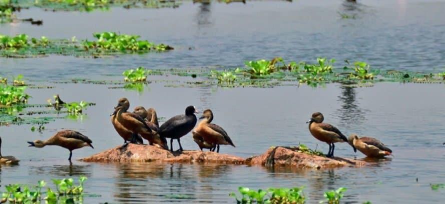 East Kolkata Wetlands, ducks, wildlife