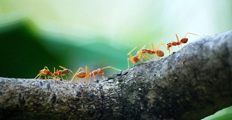 pożyteczne mrówki