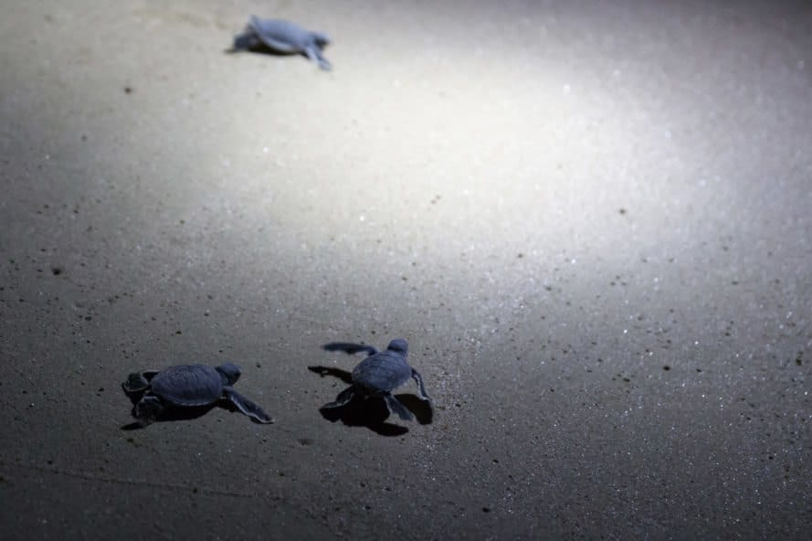Three sea turtle hatchlings at night
