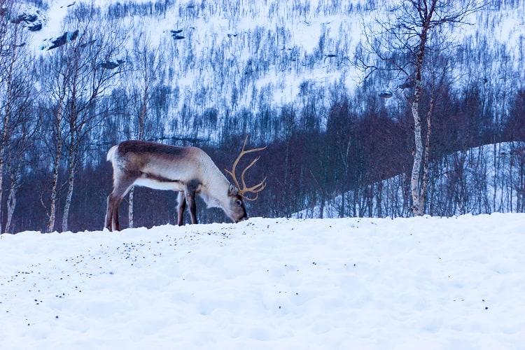 renifer-tundra