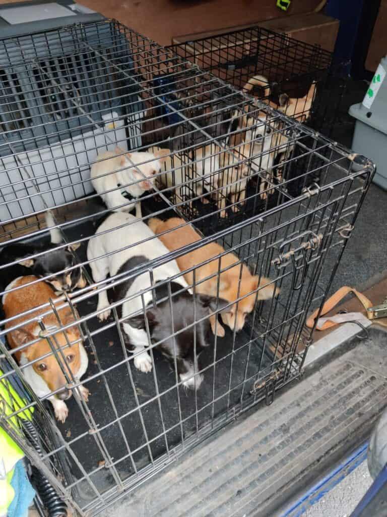 Psy w Irladnii