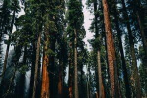 sequoi